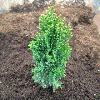 2 Year Plant of Chamaecyparis Lawsoniana Ellwood's Pillar