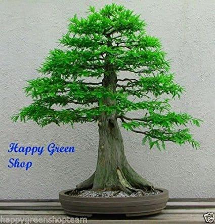 Lawson Cypress - Chamaecyparis lawsoniana 100 Seeds Bonsai Garden