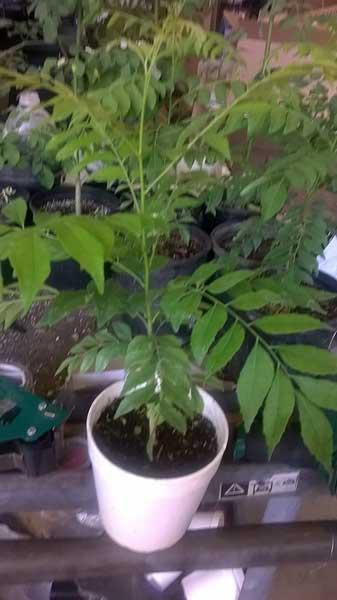 Organic Curry Leaf Tree Murraya Koenigii