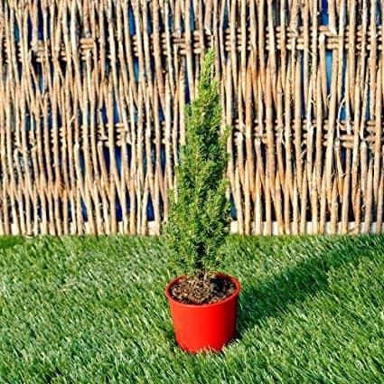 Picea glauca, Jean's Dilly Christmas Tree, Spruce for Miniature Garden, Fairy Garden