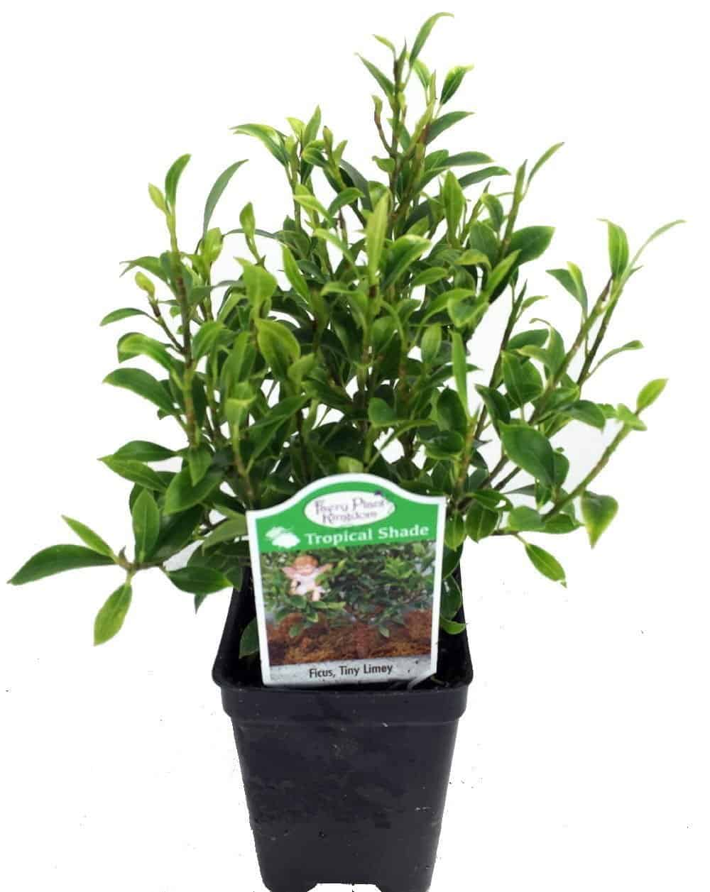 Tiny Limey Weeping Fig - Ficus