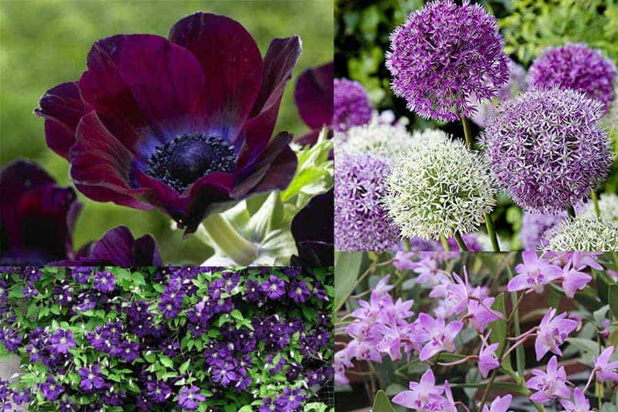 Color of Royalty Purple Fairy Garden Plants , Teelie\u0027s