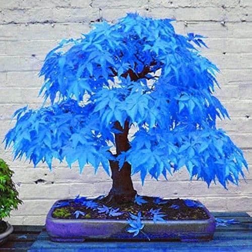 Potato001 20pcs Beautiful Rare Blue Maple Seeds Bonsai Plants Garden Home Tree Decoration Teelie S Fairy Garden