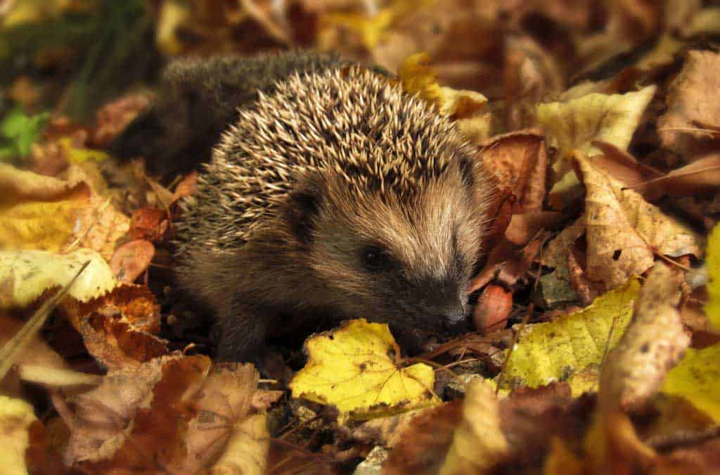 Canva Brown And Black Hedgehog Standing On Brown Dry Leaved